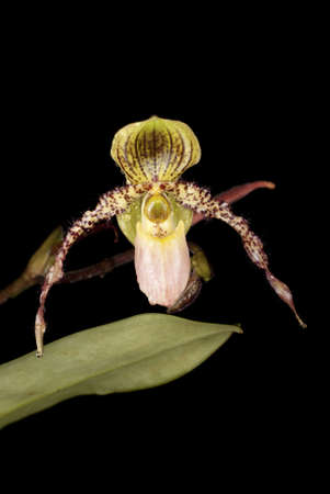 Paphiopedilum lowii photo