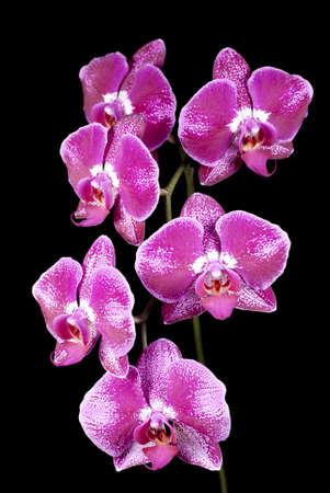 Phalaenopsis Orchids Stock Photo