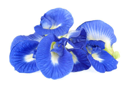 indigo: Clitoria ternatea also known as the Butterfly Pea Flower, used for food coloring Stock Photo