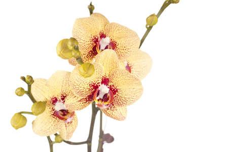 royale: Royale Yellow Phalaenopsis Orchids Stock Photo