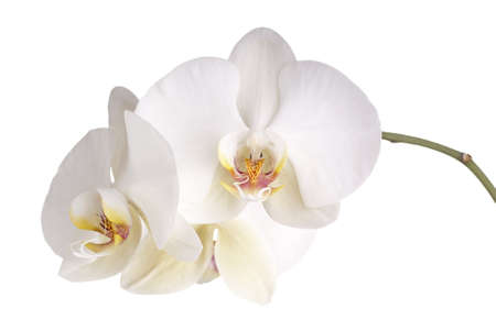 Pearly White Phalaenopsis Orchids photo