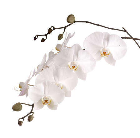 orchid isolated: Pearly White Phalaenopsis Orchids