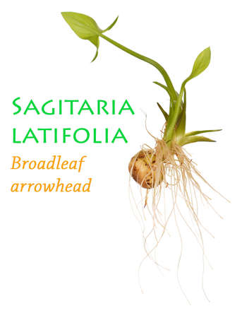 seedling growing: Baby Arrowroot Plant or Sagitaria latifolia