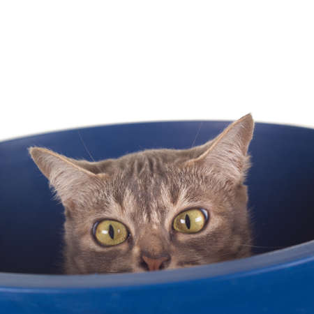 full grown: Tabby Cat with Crooked Nose in a Bucket