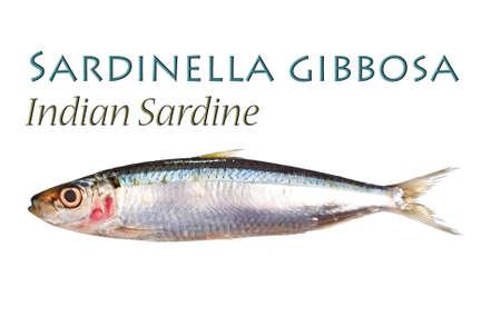 sardinas: Sardina Sardinella o gibbosa Foto de archivo