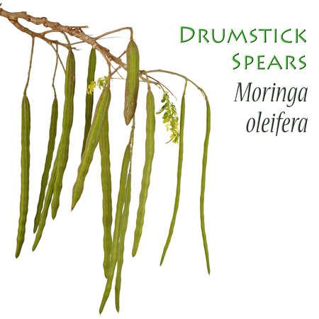 oleifera: Planta Drumstick tambi�n conocido como moringa ole�fera