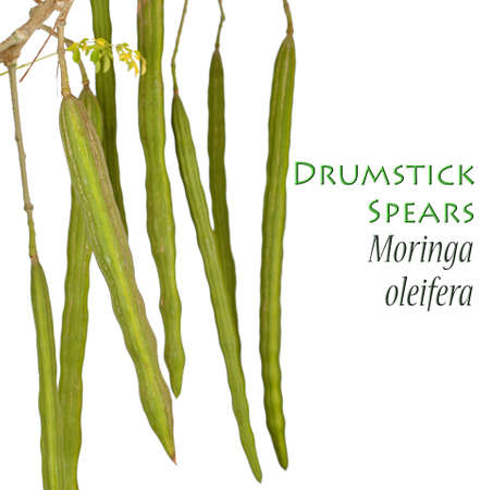 Drumstick Plant - Moringa oleifera Stock Photo - 14449114