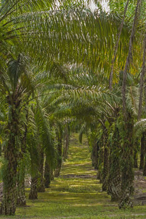 Matured Oil Palm Trees photo