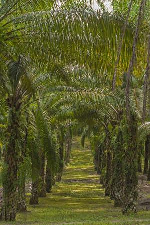 palm oil plantation: Matured Oil Palm Trees