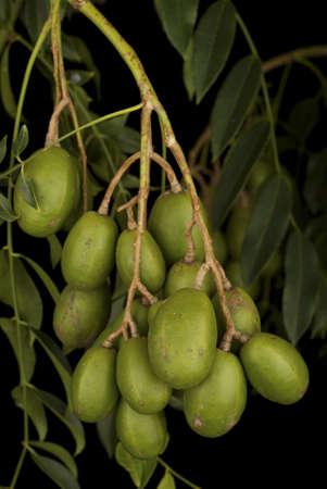 tahitian: Tahitian Apples - Spondias cytherea
