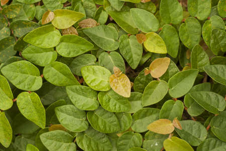 fig leaf: Creeping Fig - Popular Landscaping Plants in Asia