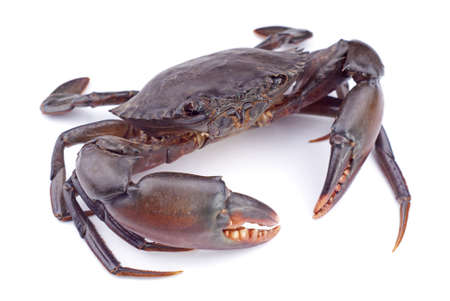 Live Mud Crab; Scylla serrata Stock Photo