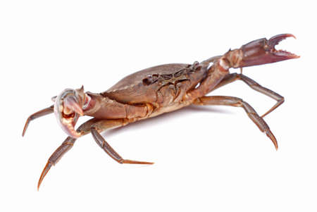 invertebrates: Live Mud Crab; Scylla serrata Stock Photo