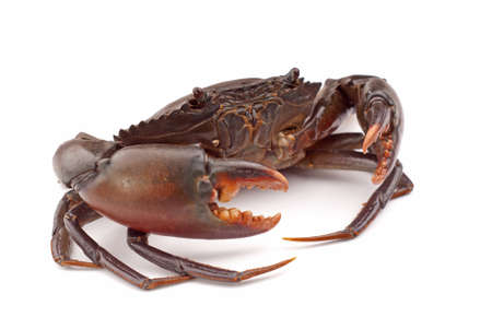 crabs: Live Mud Crab -  Scylla serrata Stock Photo