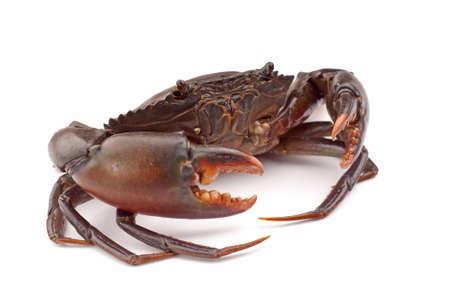 Live Mud Crab -  Scylla serrata Stock Photo