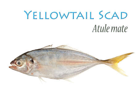 Yellow Tail Scad photo