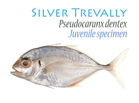 spat: Silver Trevally - Isolated on White
