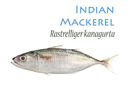 Indian Mackerel - Ikan Kembong Stock Photo