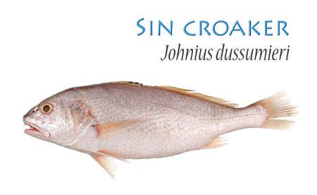 sin: Sin croaker - Isolated on White Stock Photo