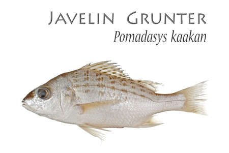 grunter: Javelin Grunter - Isolated on White Stock Photo