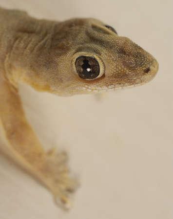 knobby: Household Gecko - Hemidactylus frenatus. Unsharpened file Stock Photo
