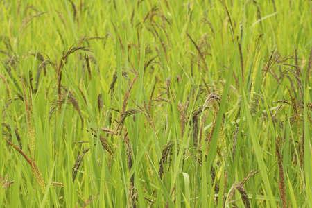 padi: Ripening Wet Padi in Open Field; unsharpen file Stock Photo