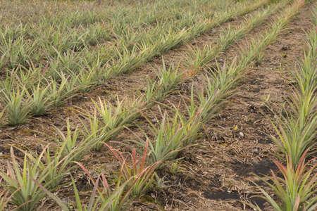 turf: Pineapple Plantlets on Peat Bog; unsharpened file