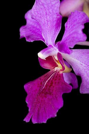 vanda: Vanda Miss Joaquim, Singapores National Flower; unsharpened file Stock Photo