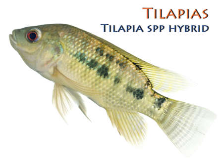 Juvenile Tilapia Hybrid; Non sharpened file Stock Photo - 18332927
