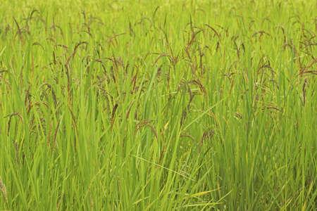 padi: Ripening Wet Padi in Open Field; Non sharpened file