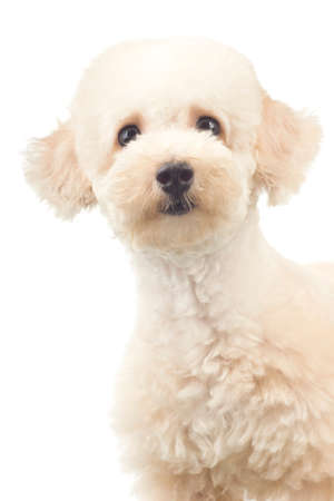 miniature breed: Blue Coat Toy Poodle con mirada curiosa