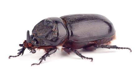 oryctes: Oryctes rhinoceros or Asiatic female rhinoceros Beetle