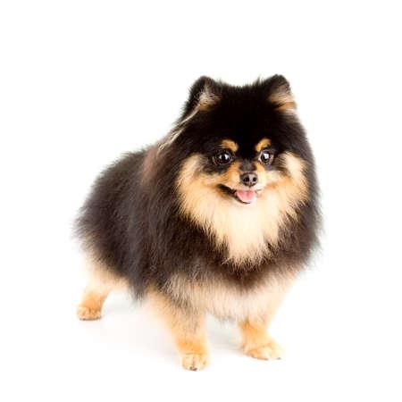Tan and Black Male Pomeranian Reklamní fotografie