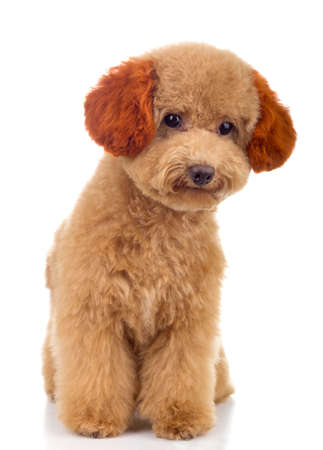 Tiny Toy Poodle