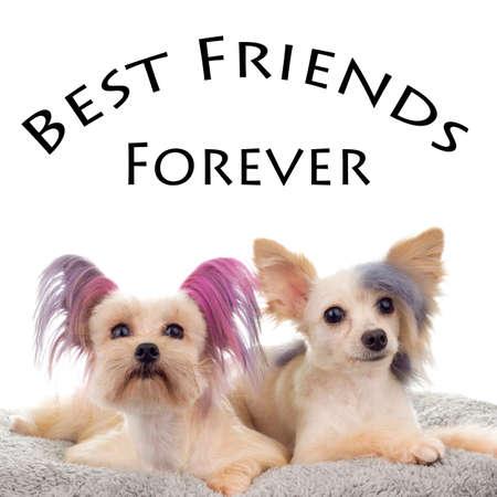 k9: Best friends Forever Steam Punk Maltipoo