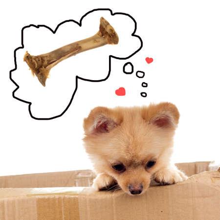 Pomeranian ala Little Bear dreaming about chewie Stock Photo