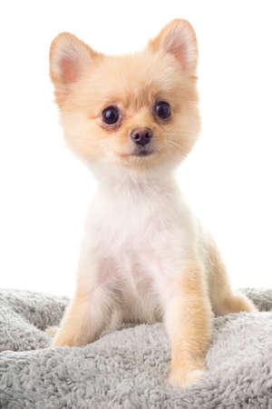 k9: Pomeranian ala Little Bear Hair Cut