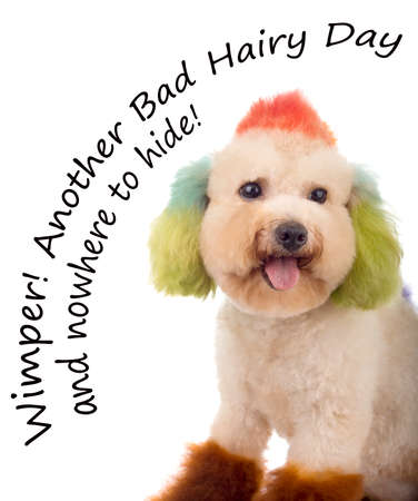 bad hair day: Miniature Toy Poodle Having a Real Bad Hair Day and nowhere to hide Stock Photo