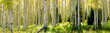 Aspen trees early Fall in Park City, Utah, panoramic photo