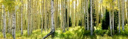 aspen tree: Aspen trees early Fall in Park City, Utah, panoramic Stock Photo