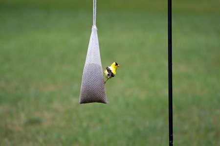 goldfinch eating birdseed