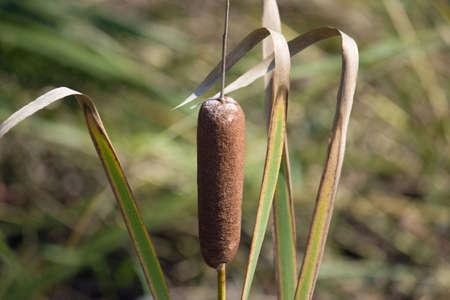 cattail plant Stok Fotoğraf