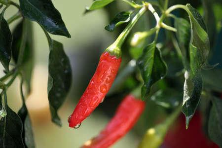 Bright Hot Red Pepper After Rain Stok Fotoğraf