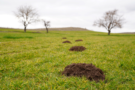 New molehills on lawn made by moles population and several trees on background Archivio Fotografico