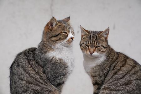 並んで座っている2匹の素敵な茶色の猫 写真素材