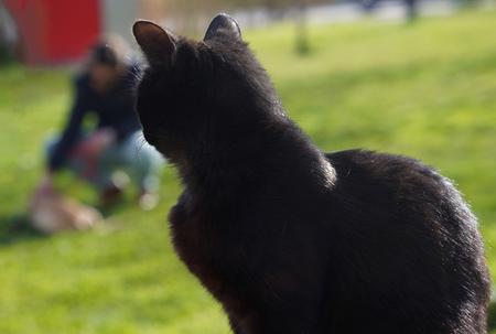 Closeup of black cat watching dog on grass
