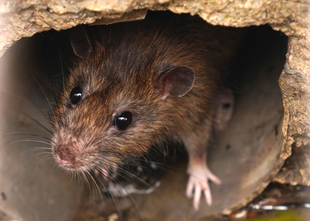 Closeup of rat on a sewer could bee seen from drain grate Standard-Bild