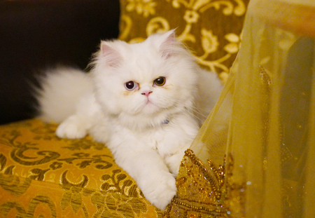 Persian And Turkish Van Cats Cross Breed Sitting On Sofa, White Color And  Cat With