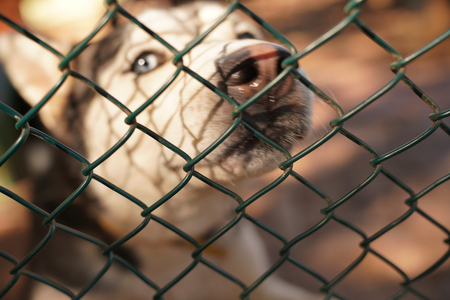 Blurred siberian husky dog looks around desperately behind the fence in a cage Stok Fotoğraf