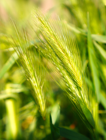Selective focus of ears of wheat